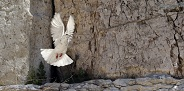 Pigeon taking off from the wailing wall in Jerusalem